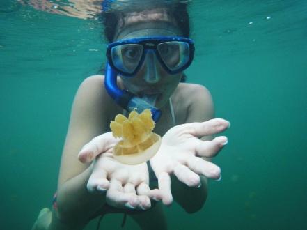 Berenang bersama stingless jellyfish