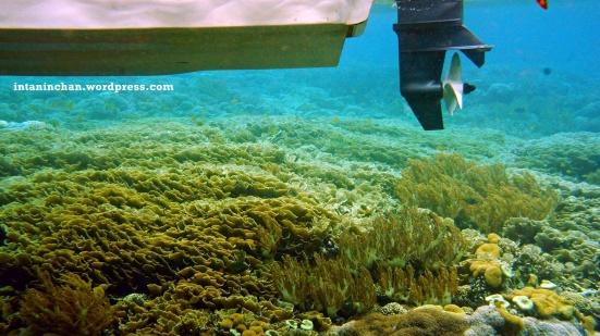 Keadaan koral di bawah boat. Didominasi jenis montipora.