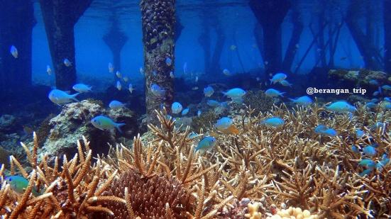 Keadaan koral di bawah dermaga